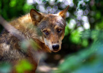 Wolf's sadness by Miha Palir