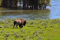 Buffalo in Yellowstone by Louise Heusinkveld