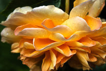 Port Sunlight, English Rose von Louise Heusinkveld