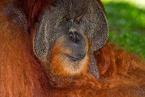 Orangutan von Louise Heusinkveld