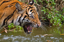 Snarling Sumatran Tiger by Louise Heusinkveld