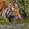 Sumatran-tiger4352