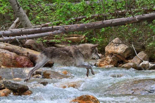 Wolf-crossing-a-stream0627