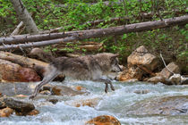 Grey Wolf Crossing a Mountain Stream by Louise Heusinkveld