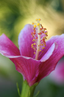 Pink Hibiscus by rhfineartphotography