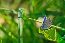 Blue Butterfly by Lija Baneviciute