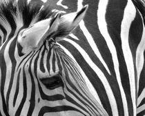 zebra von miona
