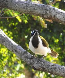 Blue Faced Honeyeater von Tiffany Ann Perry