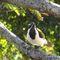 Blue-faced-honeyeater