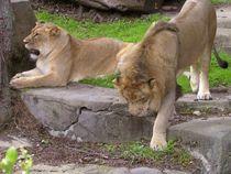 Lion Mates by Amanda Macaluso