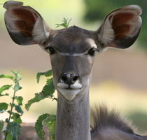 Greater Kudu by Leah  Perlman