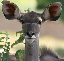 Greater Kudu von Leah  Perlman