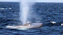 Blue whale by Leah  Perlman
