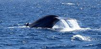 Blue Whale Flukes by Leah  Perlman