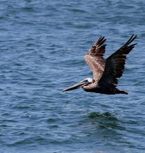 Brown Pelican by Leah  Perlman