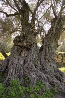 Israel, ancient Olive tree in Beth Gemel by Hanan Isachar