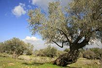 Israel, an Olive grove on Mount Carmel by Hanan Isachar