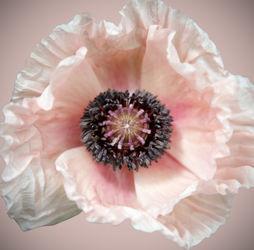 Poppy2a