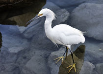 Just Wading Around - Snowy Egret (Egretta thula) von Eye in Hand Gallery