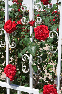 Red Roses and White Railings by Louise Heusinkveld