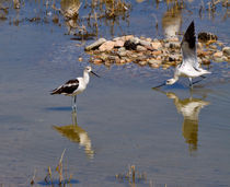 American Avocets by Louise Heusinkveld