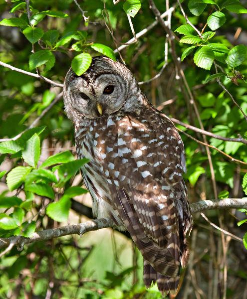Barred-owl5397
