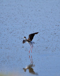 Black-necked Stilt by Louise Heusinkveld