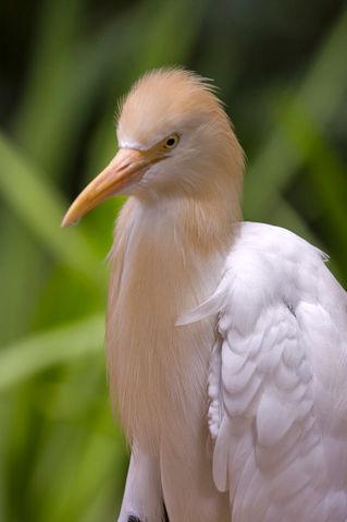 Cattle-egret862