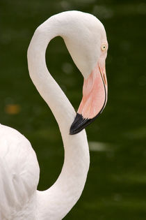 Flamingo925
