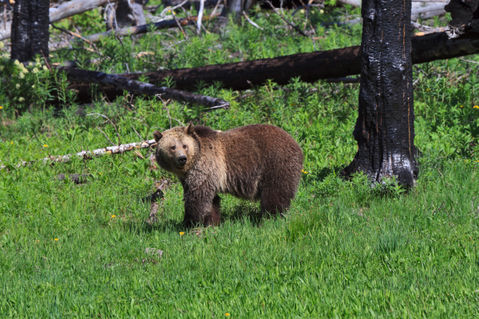Grizzly-bear0506