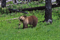 Grizzly in Yellowstone Park von Louise Heusinkveld