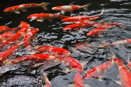Koi-in-pond3496