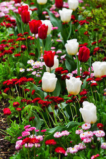 Red and White for a Spring Flowerbed von Louise Heusinkveld