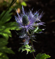 Sunlit bloom of Alpine Sea Holly by Louise Heusinkveld