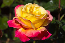 Beautiful Yellow and Red Rose von Louise Heusinkveld