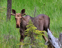 Young Bull Moose by Louise Heusinkveld