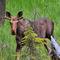 Moose0686