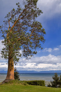 Lone Arbutus Tree by Louise Heusinkveld