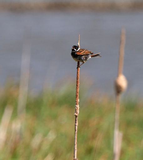 Reed-bunting0381