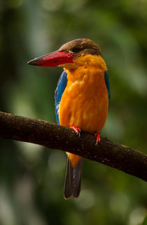 Stork-billed Kingfisher by Louise Heusinkveld