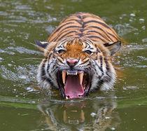Sumatran-tiger4367