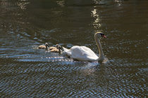 Swan and Cygnets by Louise Heusinkveld