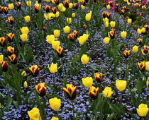 Red and Yellow Tulips with Blue Forget-me-nots von Louise Heusinkveld