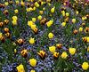 Yellow-tulips