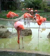 Flamingos,Schönbrunn Zoo by Mirela Oprea