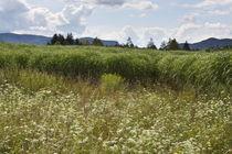 Keutschach-kornfelder-sommer-11-07-26-0118
