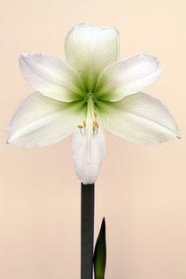 Amaryllis von Brian Haslam