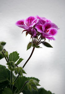 Pelargonium by Brian Haslam
