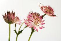 STERNdoldenblüten von pichris