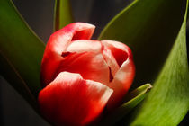 Tulips for you by julia-r